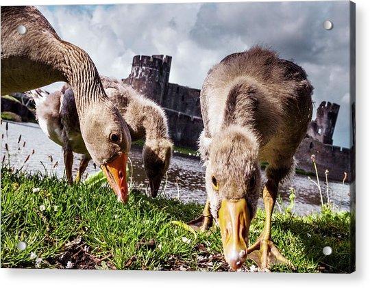 Greylag Geese Grazing Acrylic Print