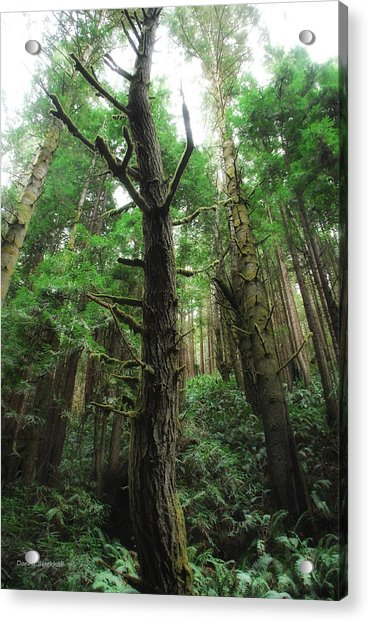 Groovin With The Redwoods Acrylic Print