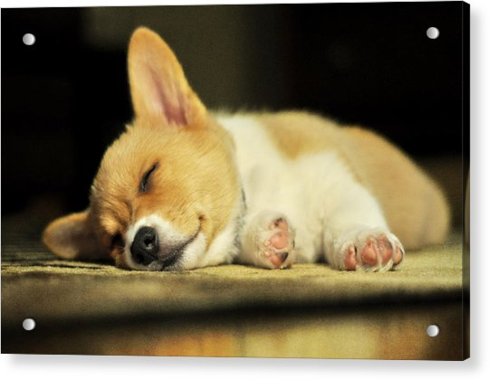 Happiness Is A Warm Corgi Puppy Acrylic Print