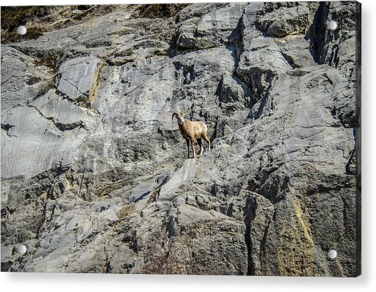 Big Horn Sheep Coming Down The Mountain  Acrylic Print