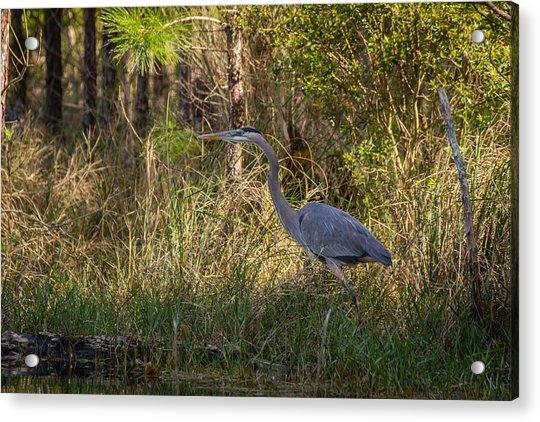 Heron On The Hunt Acrylic Print