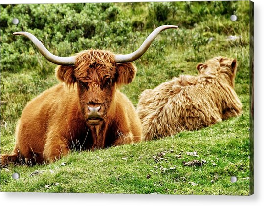 Acrylic Print featuring the photograph Highland Cows by Jason Politte