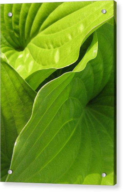 Hosta Leaves Acrylic Print