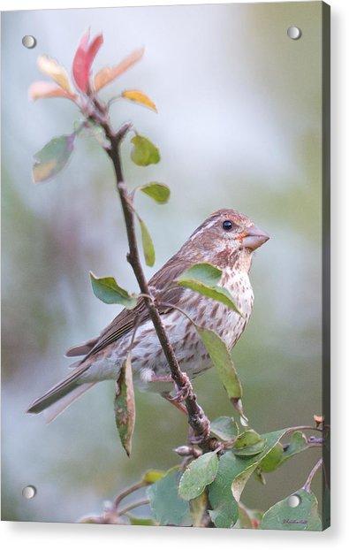 House Sparrow In The Apple Tree Acrylic Print