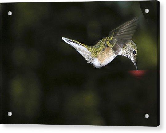 Hovering Beauty Acrylic Print