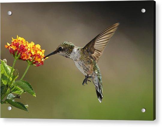 Hummingbird Feeding On Lantana Acrylic Print by DansPhotoArt on flickr
