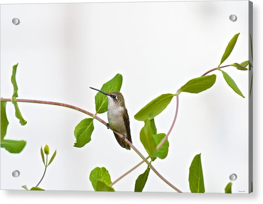 Hummingbird Hanging Out On The Honeysuckle Acrylic Print