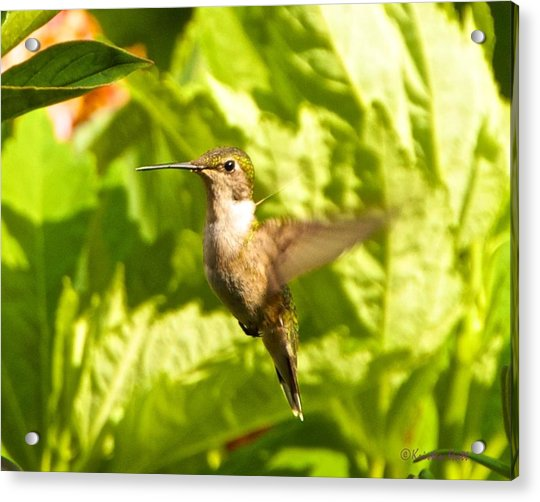 Hummingbird Highlighted By The Sun Acrylic Print