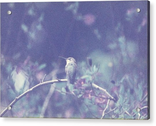 Acrylic Print featuring the photograph Hummingbird On Potato Vine by Cynthia Marcopulos