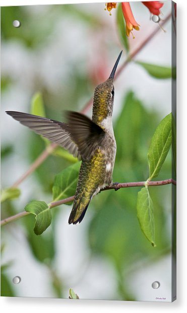 Hummingbird Reaching For The Blossoms Acrylic Print