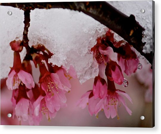 Icy Cherry Blossoms Acrylic Print