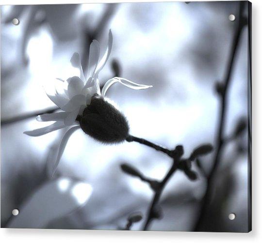 Jasmine Blossom Acrylic Print