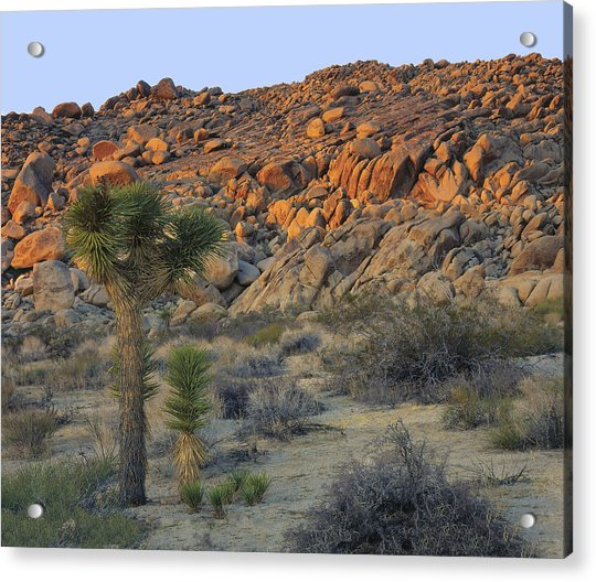 Joshua Tree With Offsrping Acrylic Print