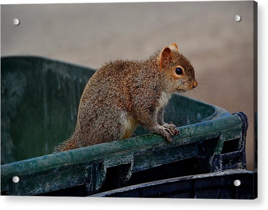 Just Looking For My Nuts Acrylic Print