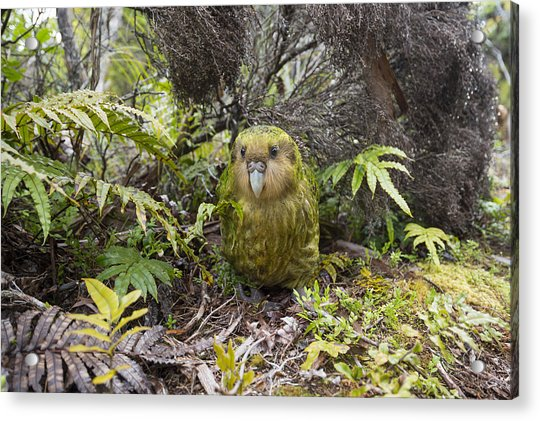 Kakapo Male In Forest Codfish Island Acrylic Print