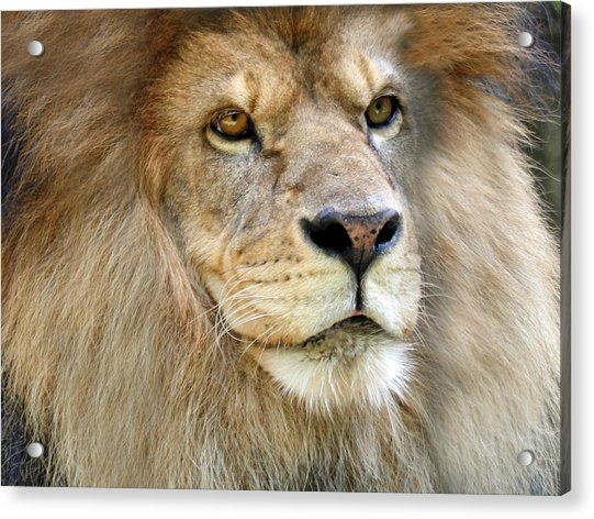 King Of The Beasts Acrylic Print