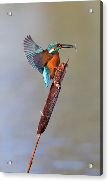 Kingfisher With Fish Acrylic Print by John Devries/science Photo Library