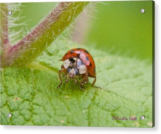 Ladybug On Boneset Leaf Acrylic Print