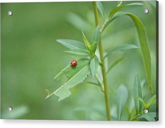 Ladybug On The Move Acrylic Print