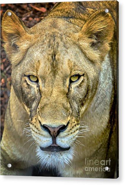 Lion Closeup Acrylic Print