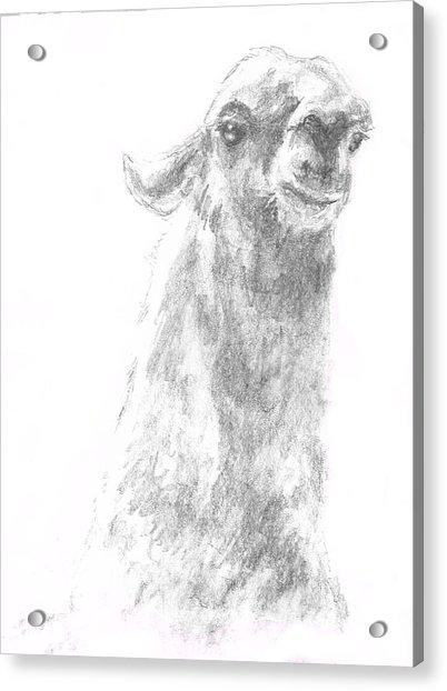Llama Close Up Acrylic Print