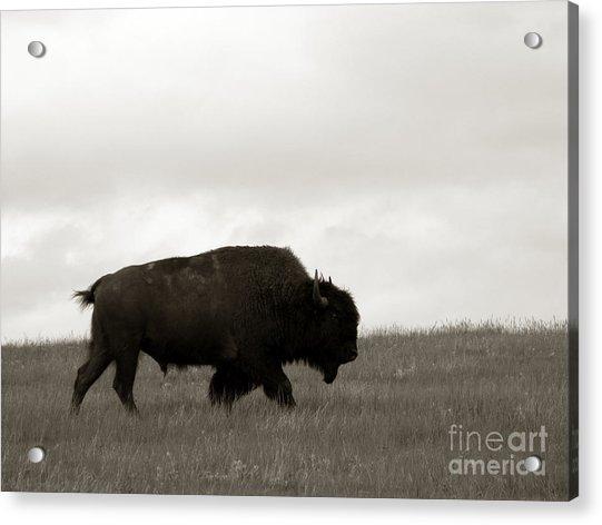 Lone Bison Acrylic Print