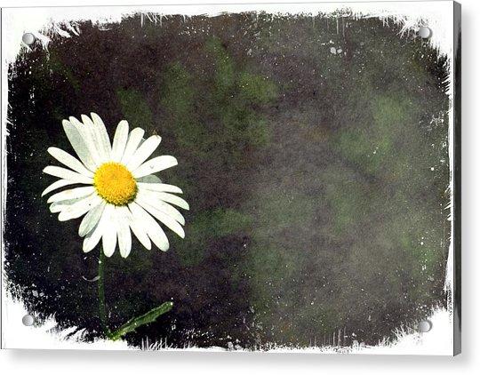 Lonesome Daisy Acrylic Print