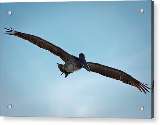 Majestic Flight Acrylic Print