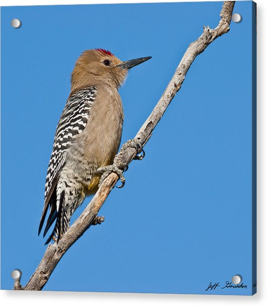 Male Gila Woodpecker Acrylic Print