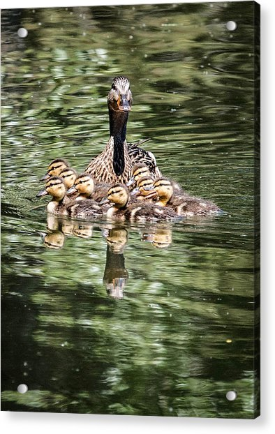 Mallard Hen With Ducklings And Reflection Acrylic Print