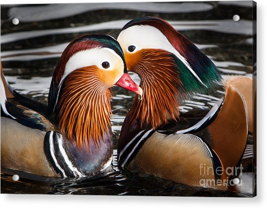 Mandarin Lovers Acrylic Print