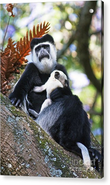Mantled Guereza Mother And Baby Acrylic Print by Brian Gadsby