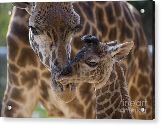 Masai Giraffe And Calf Acrylic Print