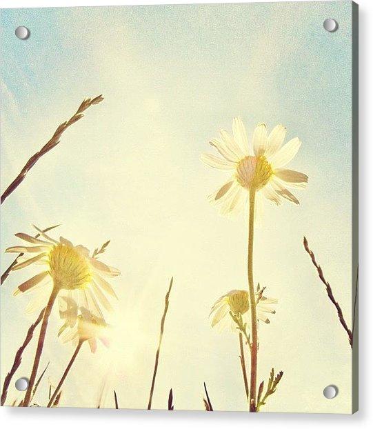 #mgmarts #daisy #all_shots #dreamy Acrylic Print