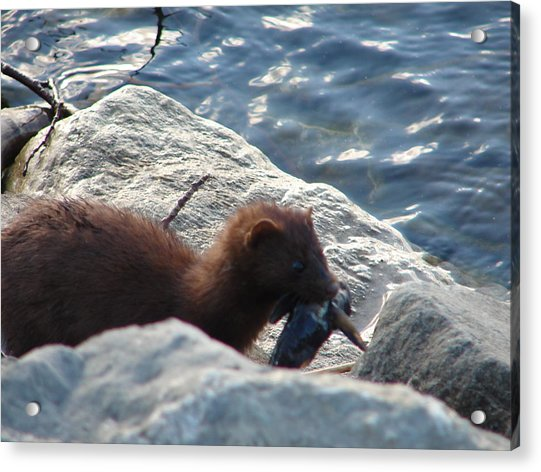 Mink With A Round Goby Acrylic Print
