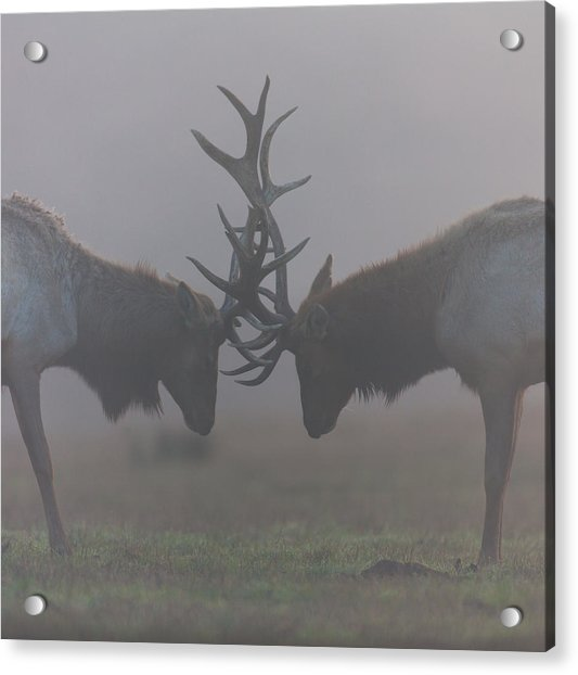 Misty Encounter Acrylic Print