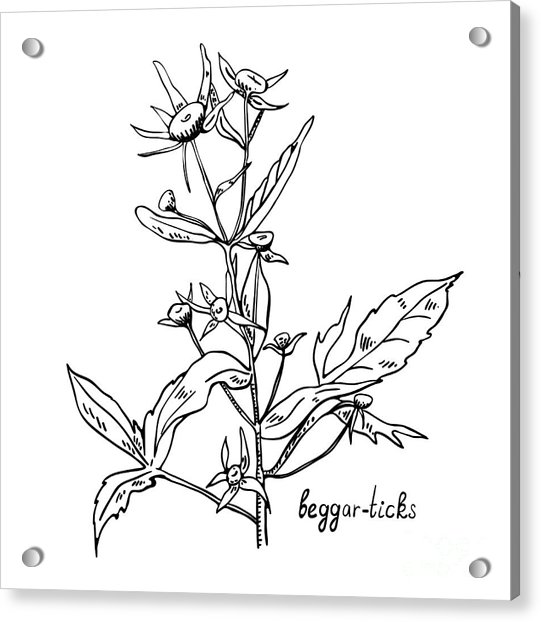 Monochrome Image Beggarticks Herb Acrylic Print
