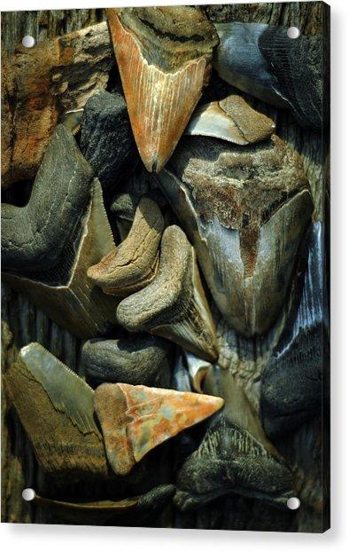 More Megalodon Teeth Acrylic Print
