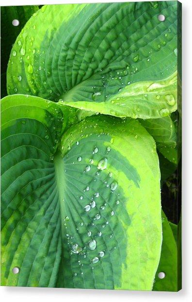 Morning Rain Hosta Acrylic Print