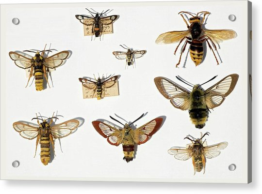 Moths And Batesian Mimicry Acrylic Print