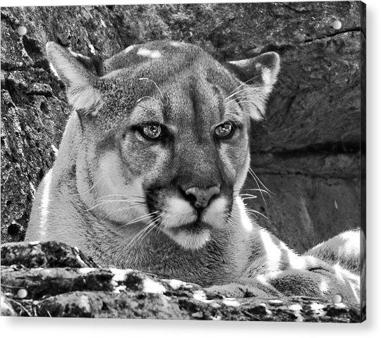 Mountain Lion Bergen County Zoo Acrylic Print