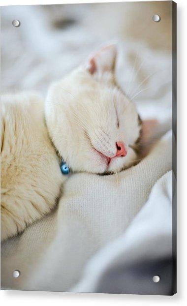 Munchkin Kitten Sleeping Acrylic Print by Nazra Zahri