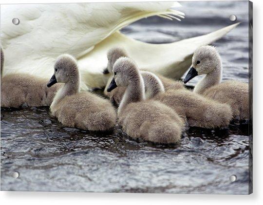 Mute Swan Cygnets Acrylic Print
