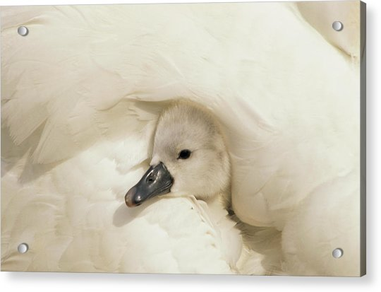 Mute Swan Cygnus Olor Cygnet Acrylic Print