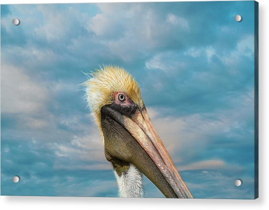 My Better Side - Florida Brown Pelican Acrylic Print