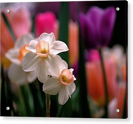 Acrylic Print featuring the photograph Narcissus And Tulips by Rona Black
