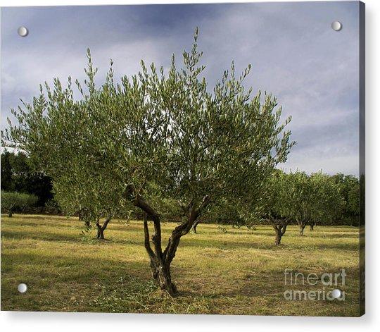 Olive Tree. Provence. France Acrylic Print