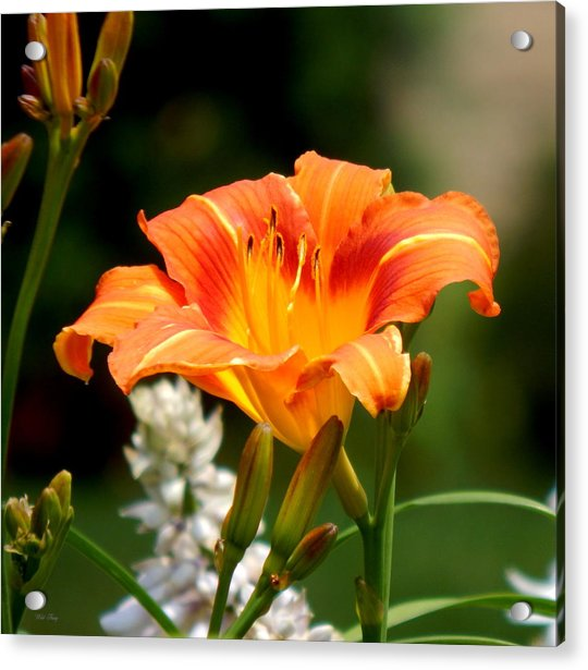 Orange And Yellow Glory Acrylic Print