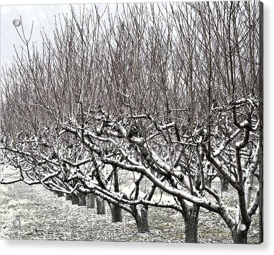 Orchard In Winter Acrylic Print
