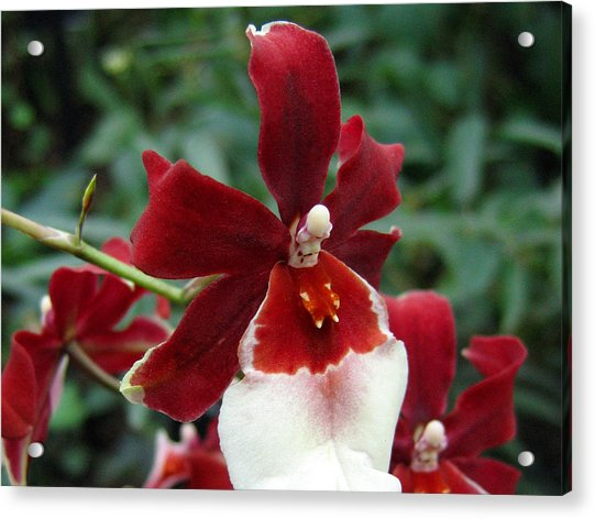 Orchid 1 Acrylic Print